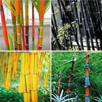New 100Pcs Phyllostachys Pubescens Moso-Bamboo Seeds Garden Plants