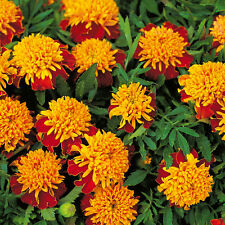 Marigold French - Tiger Eyes - 200 Seeds