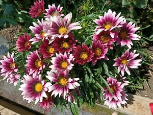 GAZANIA Cuttings of 2 Bright Pink Home Garden Flowers Easy Grow low maintenance