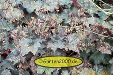 6 x Purpurglöckchen, Heuchera micratha Palace Purple