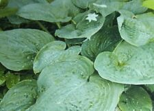 BLUE DOLPHIN HOSTA PLANT large blue green heart shaped leaves