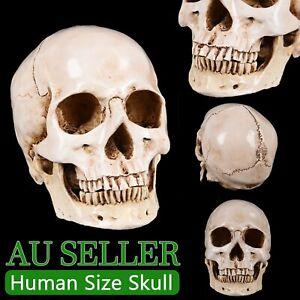 Resin Art Human Skull Replica Teaching Model Medical Realistic 1:1 Adult Size AU
