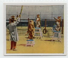 Vintage 1935 Trade Card of CIRCUS KRONE Wild Cats Taming