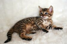 Bengal Cat A4 Photo Image Picture Print by paws2print
