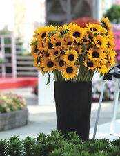 Cut Flower Sunflower Seeds 20 Seeds Helianthus Annuus Turnsole Plant Seeds J002