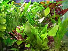6 touffes de  plantes pour aquarium filtre poisson