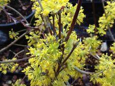 Cornus Officinalis 15 Seeds, Dogwood Cornelian Cherry Shrub Tree Hardy Medicinal