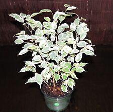 "LARGE Variegated Ficus Benjamin Weeping Fig Tree Bonsai Tree Shipped in 6"" Pot"