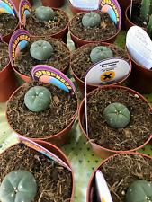 LOPHOPHORA WILLIAMSII Planta Cactus Vivo De 8,5cm Pot Cacti Kakteen 1-2 years