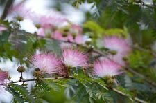 15+ Seeds -- PINK POWDER PUFF TREE * MIMOSA  BEAUTIFUL & FREE SHIPPING