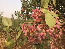 Turkish Antep Pistachios, GENUINE PISTACIA VERA Tree Fresh New Season 10 Seeds