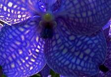 Vanda corulaea ´Blue Moon´ Hybride NEW blühstarke XL Pflanze Orchidee Orchideen