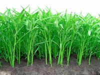 Convolvulus Thai Vegetable Seed Organic Plant Asian Garden Morning Glory SEEDS