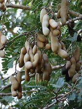 10 Tamarindus Indica Seeds Tamarind Fruit Tree Long Living Tree Seed