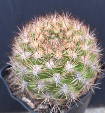 Weingartia neocummingii Fs Plant