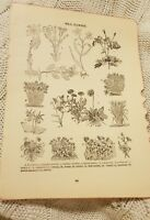 Wild Flowers - Antique Book Print