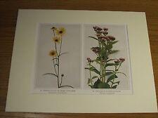 Vintage 1921 Wildflower Art Print Matted - Swamp Sunflower; Salt Marsh Fleabane