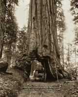 1870s Vintage Photo - Giant Sequoia Tree with Horse & Wagon Driving Through 8x10