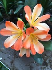 1x Clivia m. 'Belgium White Lips' 1.5 Year Old Plant. UK National Collection