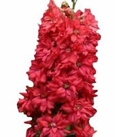 100PCs Seeds Delphinium Ajacis Red Perennial Flower Home Garden Planting Bloom