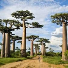 Adansonia digitata - Baobab trees - 3 large seeds