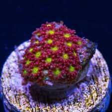 Wwc Crunch Berry Goniopora ~ Wysiwyg Live Coral Frag ~ World Wide Corals ~ #12