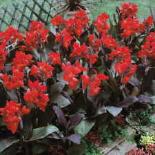 "Canna Lily Bronze Purple Leaf Dip Red Flower ""Black Knight"" Perennial Plants"