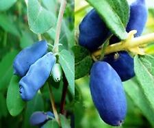 Maibeere Sparset,2 Pflanzen ca. 80/100 cm. Sibirische Blaubeere,Gimolost