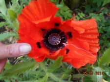 Pavot d'Orient HARDY PAPAVER ORIENTALE ALLEGRO Oriental Poppy 50 Seeds