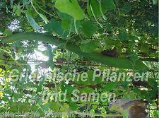 Luffa Extra Long 1m long schwamm-gurke 5 seeds