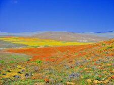 1000 MIXED CALIFORNIA POPPY Eschscholzia Californica Ballerina Mix Flower Seeds