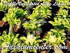 "ADENIUM OBESUM DESERT ROSE "" DOUBLE VARIEGATED LIME LEAVES "" 20 seeds NEW"