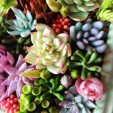 100pcs/bag Christmas Eve Seeds Rare Succulent Seeds Potted Flowers Seeds#GD1