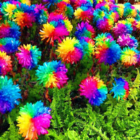 200 Pcs Seeds Rainbow Chrysanthemum Bonsai Flowers Plants Perennial Garden NEW D