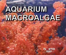 More details for marine macroalgae frag | macro algae | refugium | seahorse | chaetomorpha chaeto