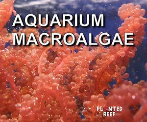 Marine Macroalgae Frag   Macro Algae   Refugium   Seahorse   Chaetomorpha Chaeto