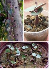 Kakteen Sukkulenten Samen CEROPEGIA WOODII , cacti asclep seeds