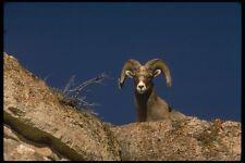 196070 Desert Bighorn Sheep A4 Photo Print