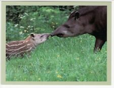 Postcard Mom and Baby Tapir Touch Noses in Ecuador