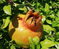 Aus den roten Blüten gedeihen köstliche, gesunde Frücht - der Granatapfel.