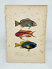 Fish Plate 91 Lacepede 1832 Hand Colored Natural History
