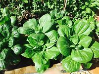 300 Seeds of Chinese Cabbage, Asian greens, Bok Choy, 青菜