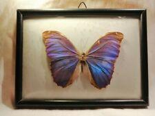 Vintage kobalt blue Mounted Butterfly Display Taxidermy