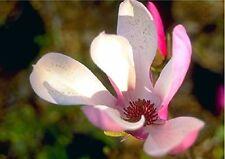 Jane Tulip Magnolia Tree - Live Plant - Shipped Over 2 Feet Tall