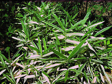 """2' DWARF WHITE STRIPE BAMBOO 24"""" long rhizome *SALE* With green Plants attached"""