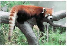 Postcard Red Panda in Captivity