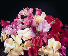 Sweet Pea -Galaxy mix - 60 seeds - Annual
