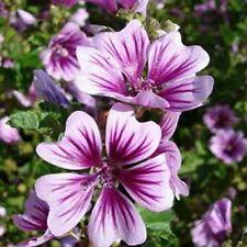 Malva Zebrina (Hollyhock-Malva Sylvestris Zebrina)- 25 Seeds