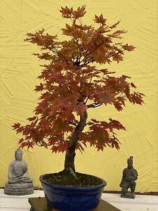 """Joe Bonsai Jap.Fächerahorn """"Aureum"""" Gold Ahorn Acer Palmatum Japan Schale"""