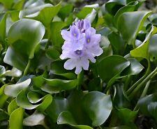 3 Water Hyacinth Plants - Pond Plant -Pond Flower - Koi Pond Plants
